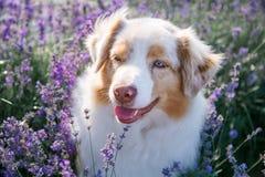 Retrato de um cão na alfazema de florescência fotografia de stock