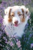 Retrato de um cão na alfazema de florescência foto de stock