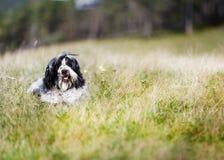 Retrato de um cão novo bonito do terrier tibetano que encontra-se na grama imagens de stock