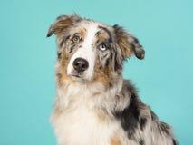 Retrato de um cão-pastor australiano eyed consideravelmente impar em um fundo de turquesa imagem de stock royalty free