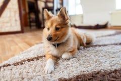 Retrato de um cão pastor de Shetland novo fotos de stock royalty free
