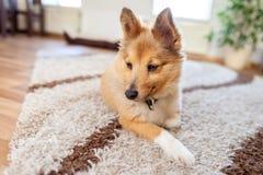 Retrato de um cão pastor de Shetland novo imagens de stock royalty free
