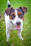 Retrato de um cão pequeno na rua Jack Russell Terrier Imagem de Stock