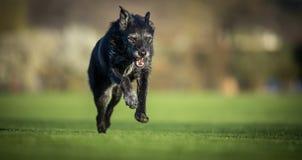 Retrato de um cão preto que corre exterior rápido imagens de stock royalty free