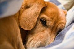 Retrato de um cão que dorme entre as folhas Fotografia de Stock
