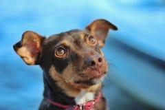 Retrato de um cão que olha acima de espera algo com colar vermelho imagens de stock royalty free