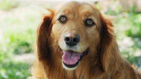 Retrato de um cão que olha, inglês cocker spaniel vídeos de arquivo