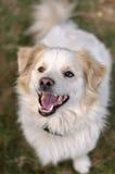 Retrato de um cão que senta-se na grama Imagens de Stock Royalty Free