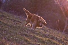 Retrato de um cão triste em exterior, dourado Imagem de Stock