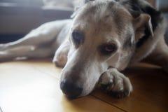 Retrato de um cão velho imagem de stock royalty free