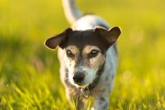 Retrato de um cão velho de Jack Russell Terrier de 9 anos exterior na natureza fotos de stock