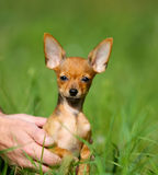 Retrato de um cão vermelho pequeno em um fundo verde borrado Imagens de Stock Royalty Free
