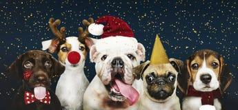 Retrato de um cachorrinho bonito do buldogue que veste um chapéu de Santa imagens de stock