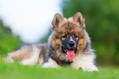 Retrato de um cachorrinho bonito de Elo Fotos de Stock Royalty Free