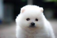 Retrato de um cachorrinho branco de Pomeranian Imagens de Stock Royalty Free