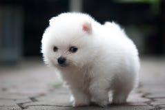 Retrato de um cachorrinho branco de Pomeranian Fotografia de Stock Royalty Free