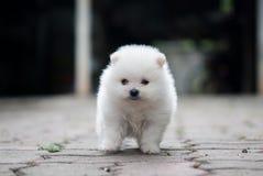 Retrato de um cachorrinho branco de Pomeranian Foto de Stock Royalty Free