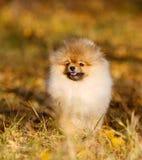 Retrato de um cachorrinho feliz de Pomeranian do alemão Um cão em um fundo do outono Fotografia de Stock Royalty Free