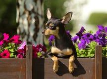 Retrato de um cachorrinho nas flores Um cão pequeno espreita para fora atrás de uma parede de madeira Foto de Stock Royalty Free