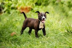 Retrato de um cachorrinho pequeno da raça misturada bonito, feliz nas cores pretas, marrons e brancas, salvar das ruas, jogando n fotos de stock royalty free