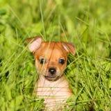 Retrato de um cachorrinho ruivo na grama verde Imagens de Stock Royalty Free