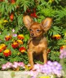 Retrato de um cachorrinho vermelho pequeno Um cão bonito senta-se nas flores Fotografia de Stock Royalty Free