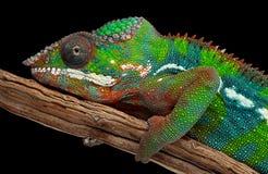 Retrato de um camaleão da pantera Fotografia de Stock