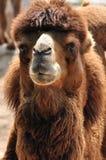 Retrato de um camelo Fotografia de Stock