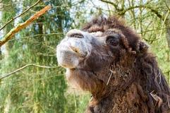 Retrato de um camelo Imagens de Stock