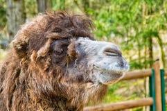 Retrato de um camelo Fotografia de Stock Royalty Free