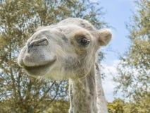 Retrato de um camelo (Camelius amável) Fotos de Stock