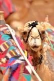 Retrato de um camelo em PETRA, Jordânia imagem de stock