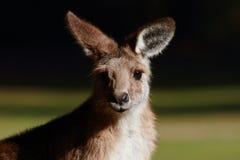 Retrato de um canguru em Tasmânia fotografia de stock royalty free