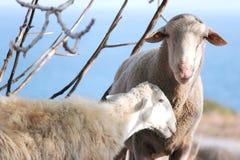 Retrato de um carneiro Foto de Stock