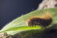 Retrato de um catepillar, larva Foto de Stock