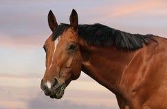 Retrato de um cavalo Imagens de Stock Royalty Free