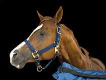 Retrato de um cavalo Fotografia de Stock