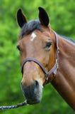 Retrato de um cavalo fotos de stock royalty free