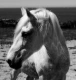 Retrato de um cavalo branco Fotos de Stock Royalty Free