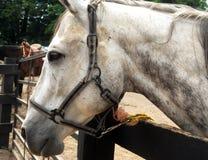 Retrato de um cavalo branco imagens de stock