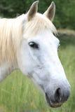 Retrato de um cavalo branco Foto de Stock Royalty Free