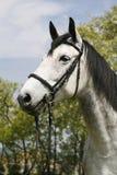 Retrato de um cavalo cinzento fleabitten com chicote de fios de couro Imagem de Stock Royalty Free