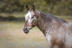 Retrato de um cavalo do Appaloosa imagens de stock