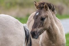 Retrato de um cavalo de Konik Fotos de Stock Royalty Free