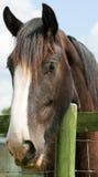 Retrato de um cavalo marrom Fotos de Stock Royalty Free
