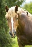 Retrato de um cavalo marrom bonito. imagens de stock