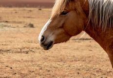 Retrato de um cavalo marrom bonito com olhos espertos foto de stock royalty free