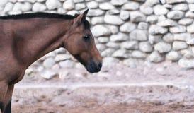 Retrato de um cavalo marrom no perfil Imagens de Stock Royalty Free