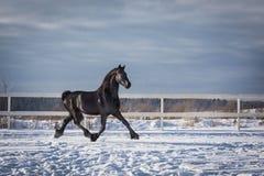 Retrato de um cavalo preto do frisão fotos de stock
