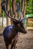 Retrato de um cervo bonito novo Fotos de Stock